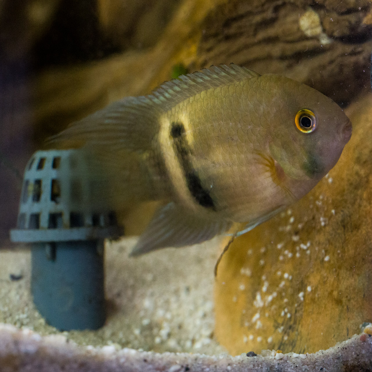 A keyhole cichlid defending its eggs that were laid on a rocky surface near the filter drain.